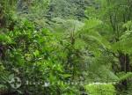 Dominica - Baumfarn im Regenwald