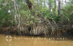 Puntarenas - Mangrovenwald