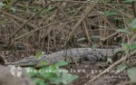 Puntarenas - Allesfresser am Rio Tárcoles
