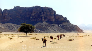 Auch Dromedare nutzen den Wüsten-Highway